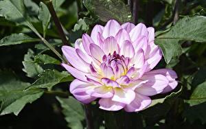 Фотографии Георгины Вблизи Боке цветок