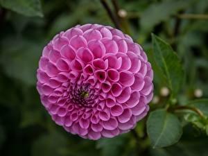 Фотография Георгины Вблизи Круги Розовый цветок
