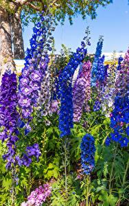 Фотографии Дельфиниум Крупным планом Разноцветные цветок