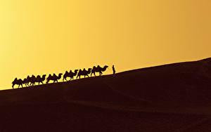 Картинки Пустыни Верблюд Силуэты Еда