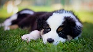 Фотографии Собака Австралийская овчарка Щенок Траве животное
