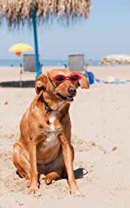 Фотография Собаки Пляж Очки Сидящие