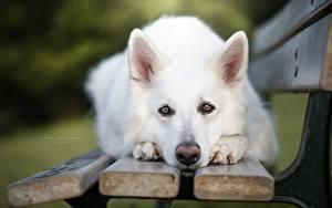 Фотографии Собаки Овчарка Взгляд Скамья Белый Морда Berger Blanc Suisse Животные