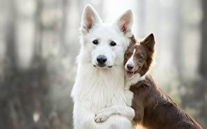 Фотография Собака 2 Бордер-колли Овчарки Berger Blanc Suisse животное