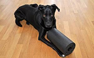 Фотография Собака Черный Лабрадор-ретривер животное