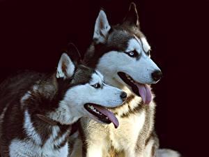Картинки Собаки Черный фон 2 Язык (анатомия) Смотрит Хаски Животные