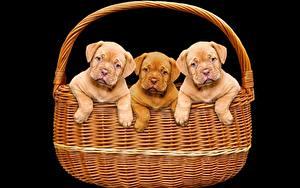 Обои Собака Черный фон Корзины Щенок Трое 3 Бордоский дог животное