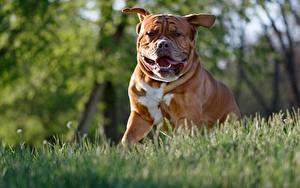 Обои Собака Бульдога Размытый фон животное