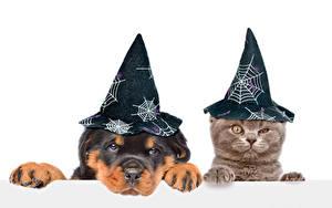Фотография Собака Кошка Хэллоуин Белым фоном Щенка Котенок Двое Шляпы Животные