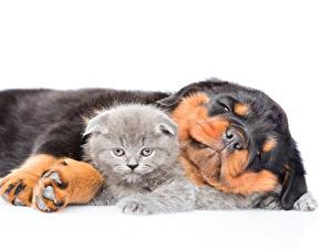 Фотография Собака Кошки Котенок Ротвейлер Спящий Вдвоем Белом фоне Животные