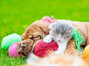 Фотографии Собака Кот Котенка Бордоский дог Спящий Двое животное