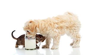 Фотография Собаки Коты Молоко Двое Котенок Щенки Болоньез Кружка Белым фоном животное