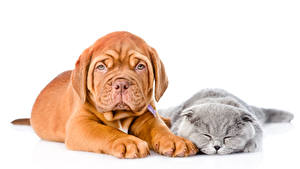 Фотографии Собака Кот Щенок Котят Бордоский дог 2 Спят Белым фоном животное
