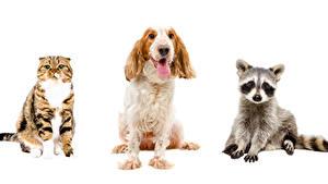 Фото Собаки Кошки Еноты Белый фон Трое 3 Спаниель
