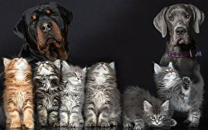 Картинка Собаки Коты Ротвейлер Котята Животные