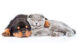 Картинки Собаки Кот 2 Ротвейлер Спит Белым фоном животное