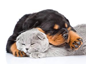 Фотография Собака Кот Двое Белый фон Ротвейлер Спящий Щенок Животные
