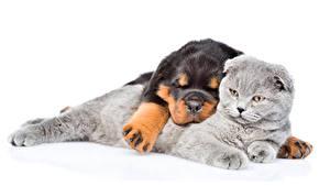 Фотография Собака Кот Белым фоном Ротвейлер Спит 2 Животные
