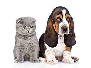 Фотографии Собаки Кошки Белый фон Бассет хаунд Котенок 2 Животные