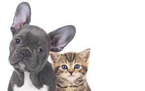 Фотография Собака Коты Белом фоне Вдвоем Бульдога Котята Морды Животные