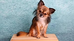 Картинки Собаки Чихуахуа Сидит животное