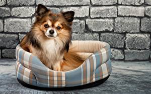 Фотографии Собаки Чихуахуа Стенка Из кирпича Смотрит