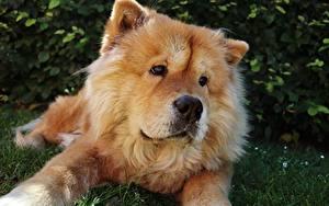 Обои Собака Чау Чау Лежит Смотрят Морда