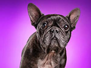 Фотографии Собаки Цветной фон Бульдог Морда Смотрит Животные