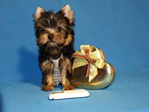 Картинка Собаки Цветной фон Щенок Йоркширский терьер Сердечко Бантик Галстук Животные