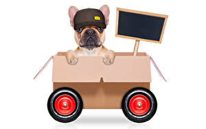 Картинка Собака Оригинальные Белым фоном Бульдог Кепке Коробке