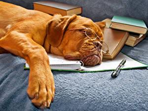 Картинка Собака Бордоский дог Спящий Очках Книги Животные