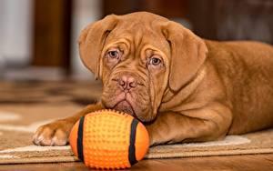 Фото Собаки Бордоский дог Лежит Взгляд Мяч Коричневая Щенки Животные