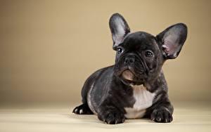 Картинка Собака Французский бульдог Черная