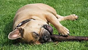 Фотографии Собака Французский бульдог Трава Лежит Лапы Животные