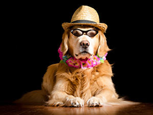 Фото Собака Золотистый ретривер Черный фон Очках Шляпа Смотрят животное