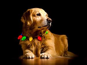 Обои для рабочего стола Собака Золотистый ретривер На черном фоне Морды Лапы животное