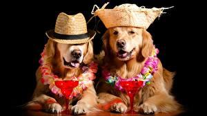 Фотография Собаки Золотистый ретривер Черный фон Бокалы Забавные Животные