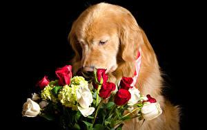 Фотографии Собаки Голден Букеты Розы Черный фон животное Цветы