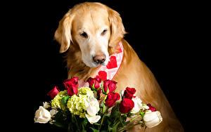 Обои Собаки Золотистый ретривер Букеты Роза На черном фоне животное