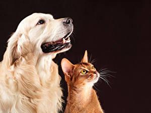 Фотографии Собаки Золотистый ретривер Коты Двое Смотрит Животные