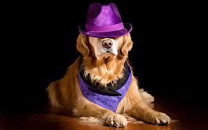 Обои Собаки Золотистый ретривер Шляпы Лежа Лап Животные