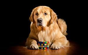 Фото Собаки Золотистый ретривер Лежит Рыжая Взгляд Лап Куб Животные