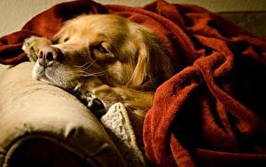 Фотография Собаки Золотистый ретривер Спящий Морды животное