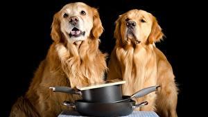 Картинки Собаки Золотистый ретривер Два На черном фоне Взгляд Животные