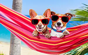 Обои Собака Гамак 2 Чихуахуа Джек-рассел-терьер Очков Язык (анатомия) Смешная