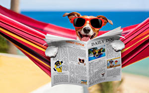 Картинки Собака Джек-рассел-терьер Очках Газеты Смешные Гамак