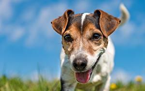 Обои для рабочего стола Собака Джек-рассел-терьер Языком Морда Размытый фон Животные