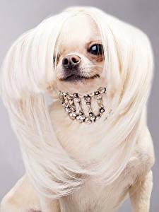Фото Собаки Украшения Серый фон Чихуахуа Волосы Животные