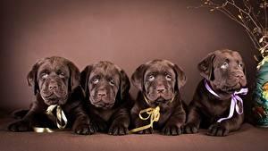 Фото Собаки Лабрадор-ретривер Щенок Лежа Четыре 4 Животные