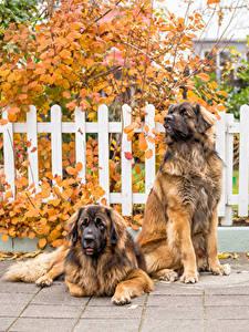 Картинка Собаки Вдвоем Leonberger Животные